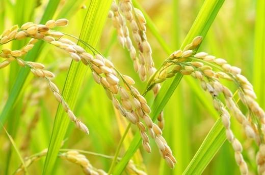 令和2年産 秋の詩 玄米30㎏ 低農薬・有機肥料栽培です。 希望があれば精米もします。_画像2