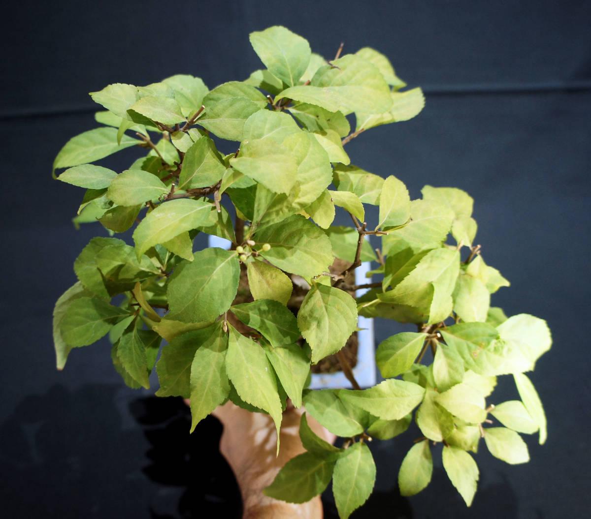 小紫式部 盆栽 奥行25cm 横幅25cm 高さ29cm_画像3