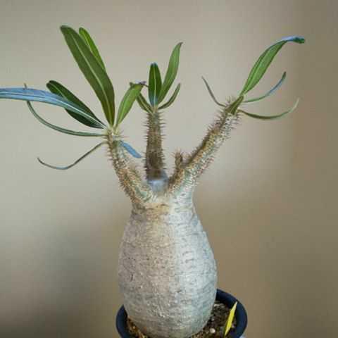 パキディウムグラキリス★塊根植物コーデックスビザールプランツナマクアナムオペルクリカリアパキプス_画像1