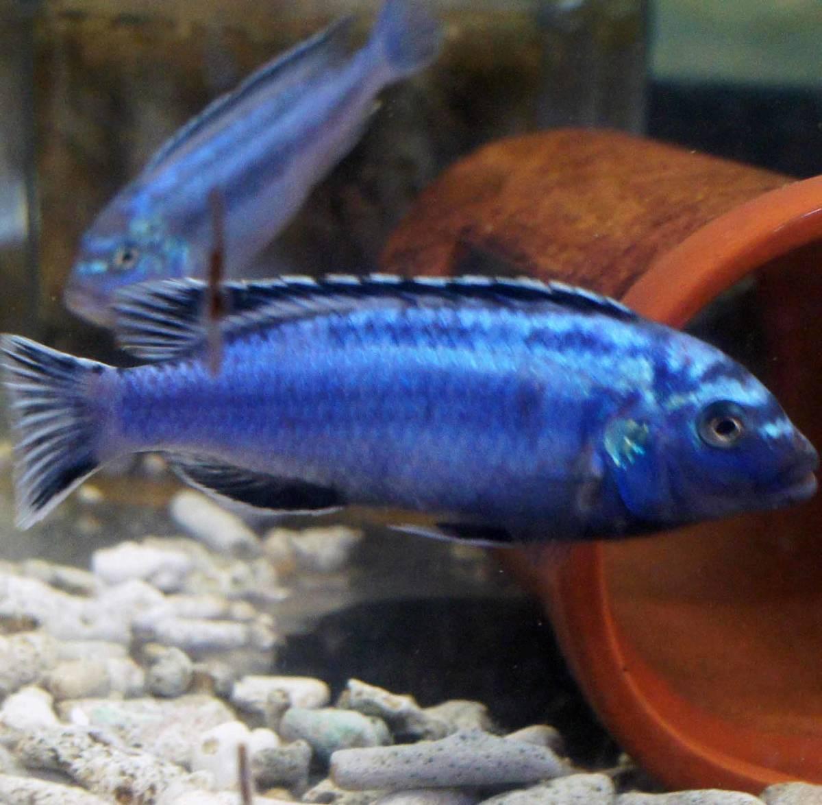 アフリカンシクリッド【メラノクロミス・マインガノ】size[若魚ペア]200913-9-7_画像1
