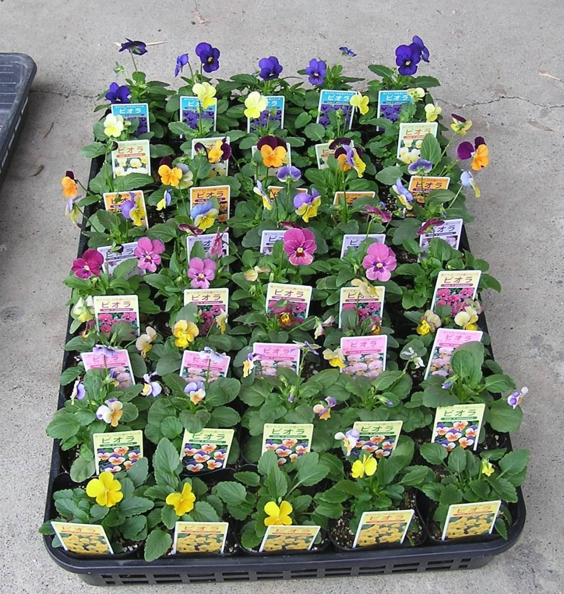 【農園】■ビオラ 4色ミックス■花苗 20ポット ☆_40ポット