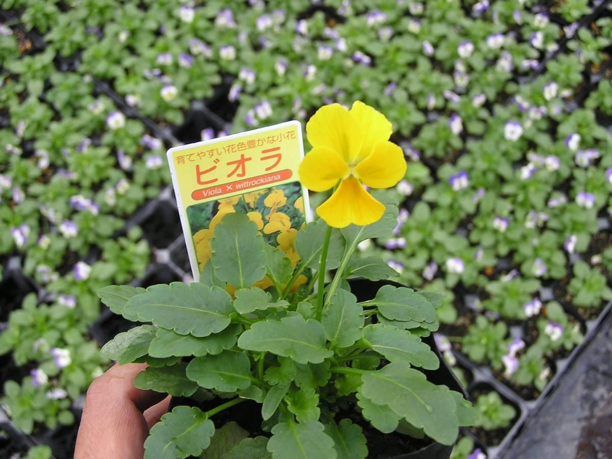 【農園】■ビオラ 4色ミックス■花苗 20ポット ☆_画像1