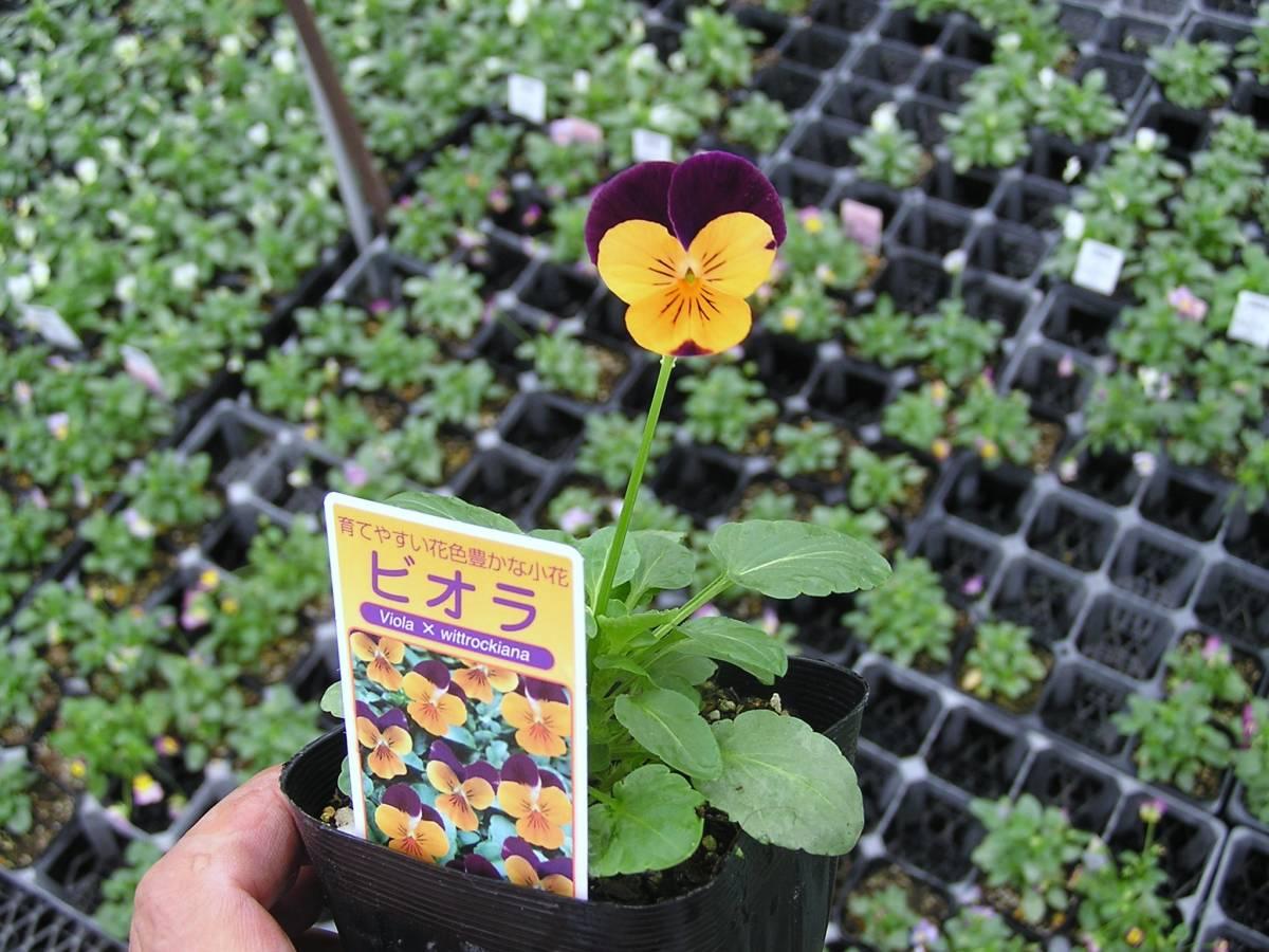 【農園】■ビオラ 4色ミックス■花苗 20ポット ☆_画像6