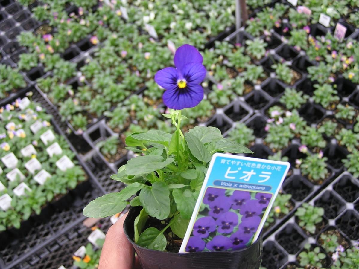 【農園】■ビオラ 4色ミックス■花苗 20ポット ☆★_画像7