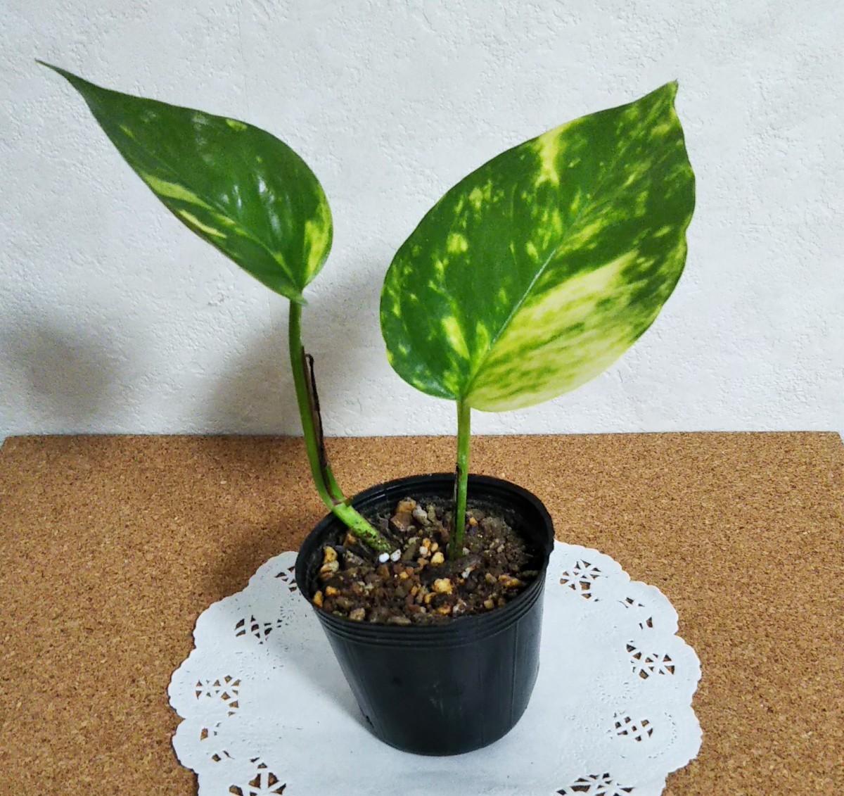ポトス ゴールデン  ミニ苗A 観葉植物