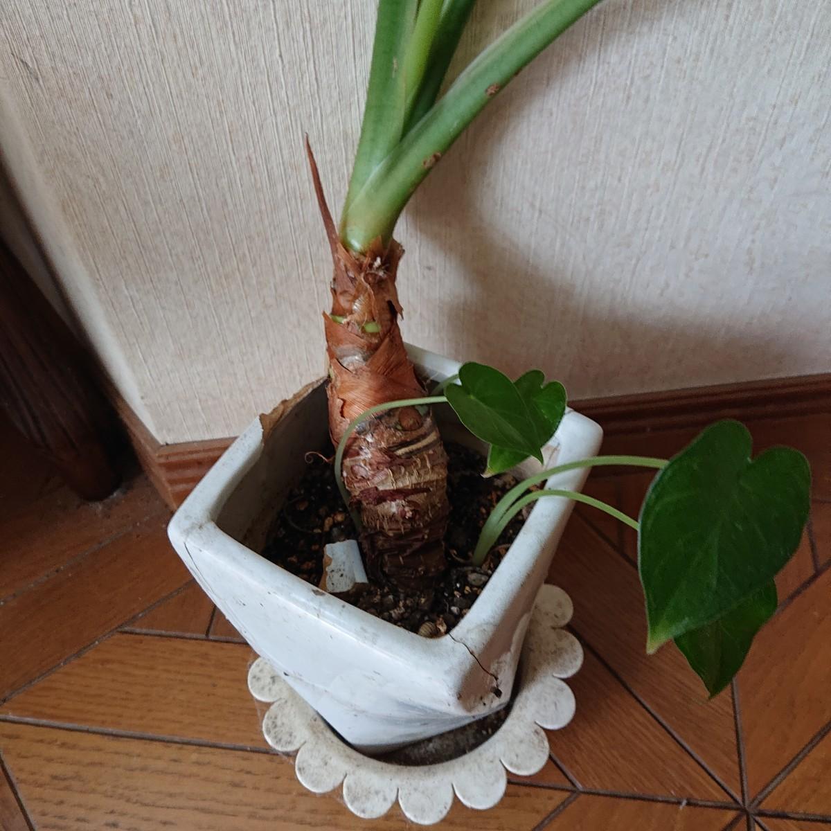 観葉植物クワズイモ 抜き苗 ②