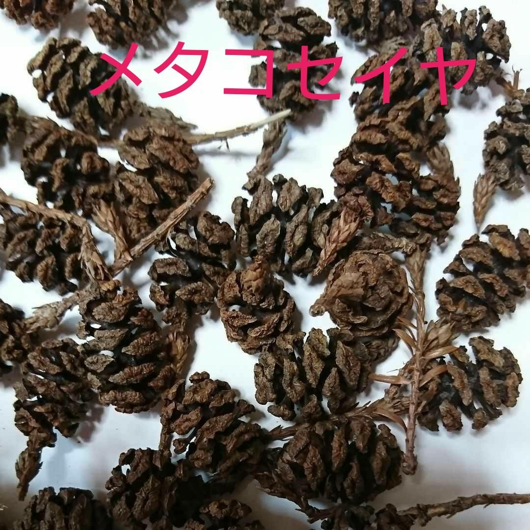 メタセコイヤ 木の実 ハンドメイド 50個 自然