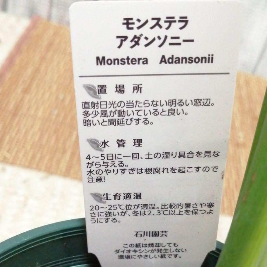 モンステラ☆アダンソニー☆ポット苗☆鉢カバー付き☆黒ポット☆