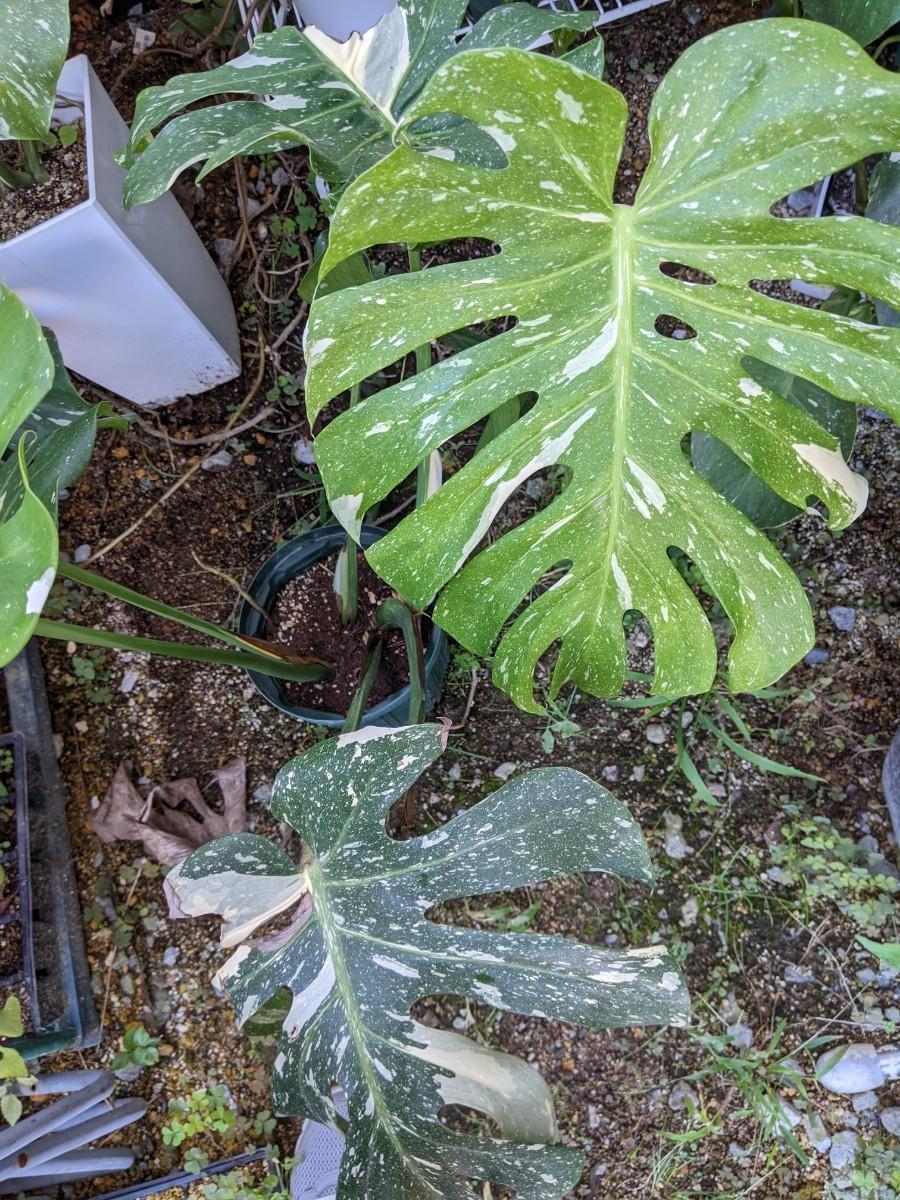 観葉植物 モンステラ 斑入り