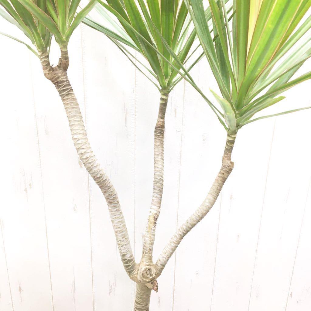 クネクネ♪ 三又樹形 ドラセナ コンシンネ 6号