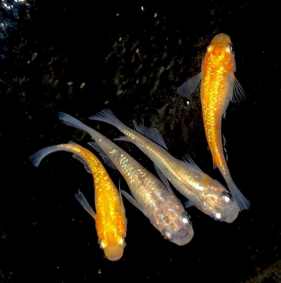 現物 三色極ラメ メダカ 現物 4匹セット( 雌2 雌2 ) 購入個体 めだか 1031_画像2