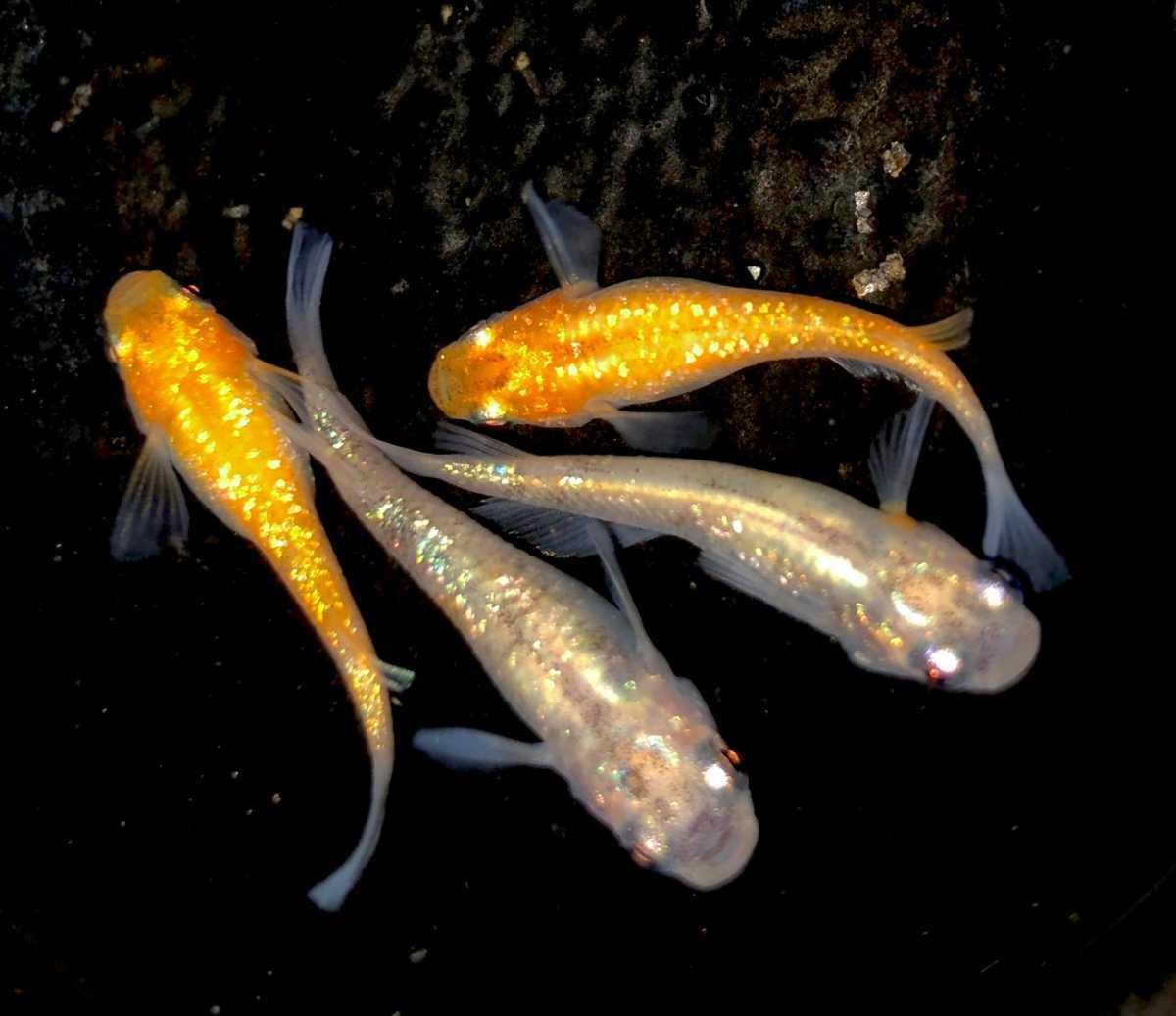 現物 三色極ラメ メダカ 現物 4匹セット( 雌2 雌2 ) 購入個体 めだか 1031_画像3