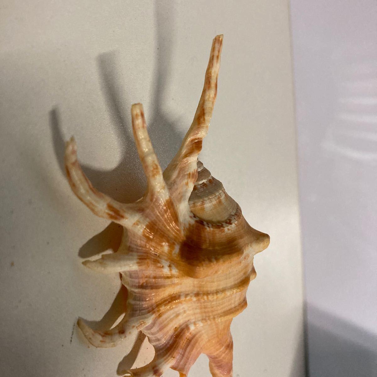 貝殻 貝標本 天然貝殻 貝殻標本 4_画像3