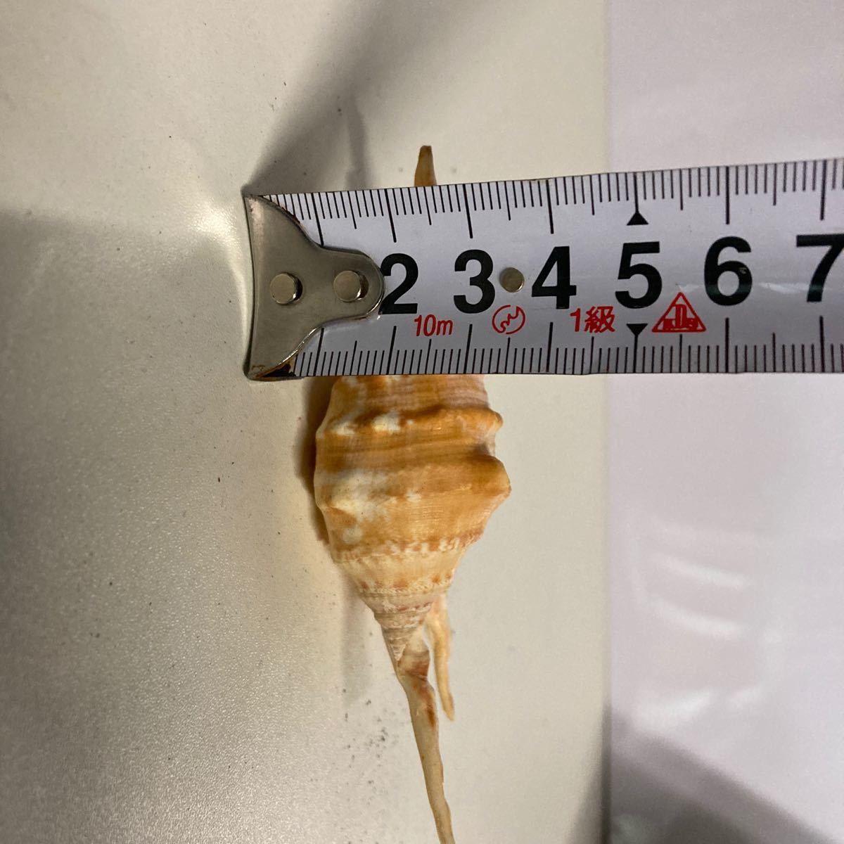 貝殻 貝標本 天然貝殻 貝殻標本 4_画像7