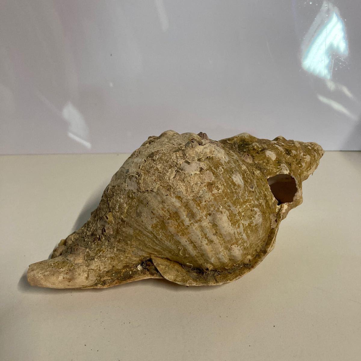 貝殻 貝標本 天然貝殻 貝殻標本 ホラガイ?2_画像1