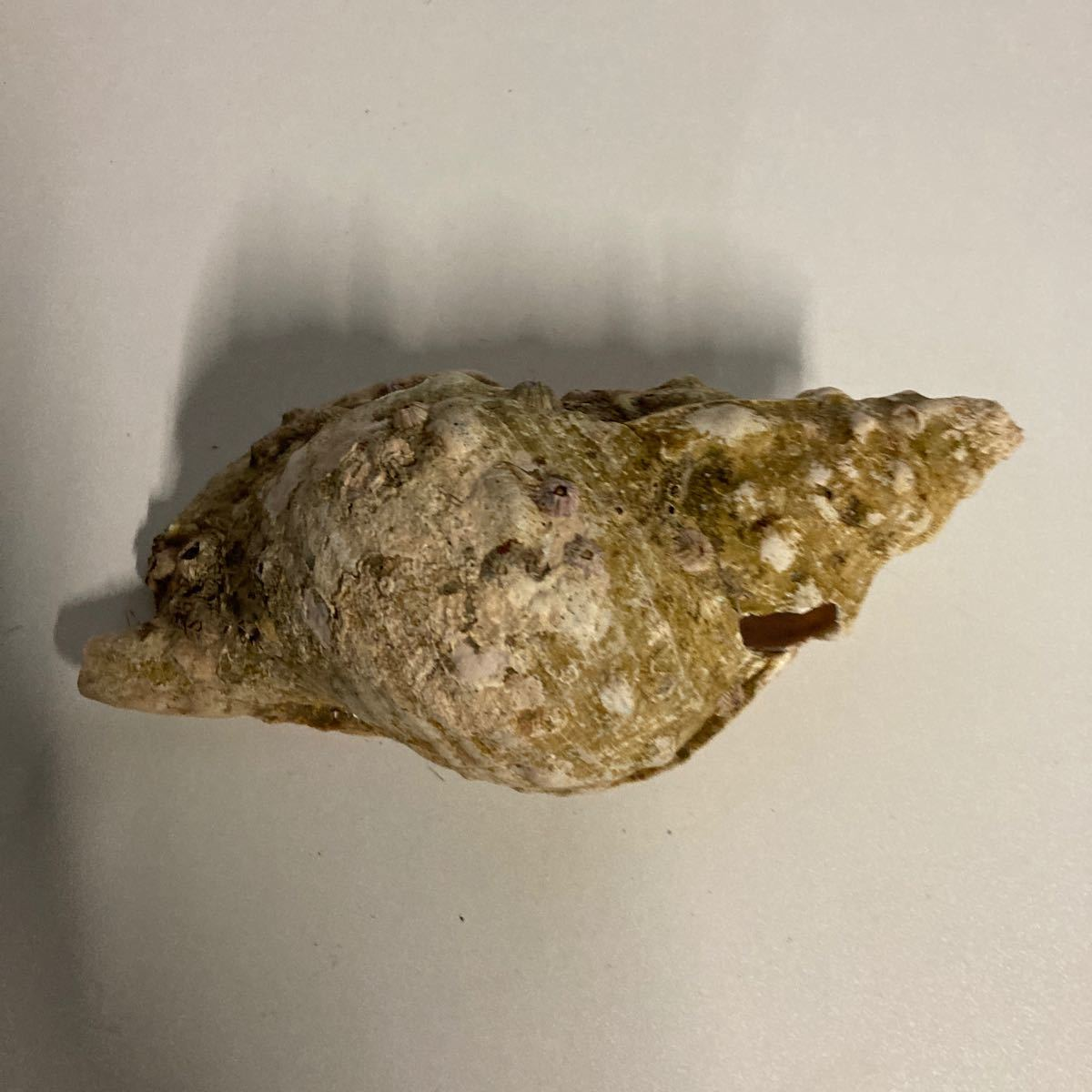 貝殻 貝標本 天然貝殻 貝殻標本 ホラガイ?2_画像5