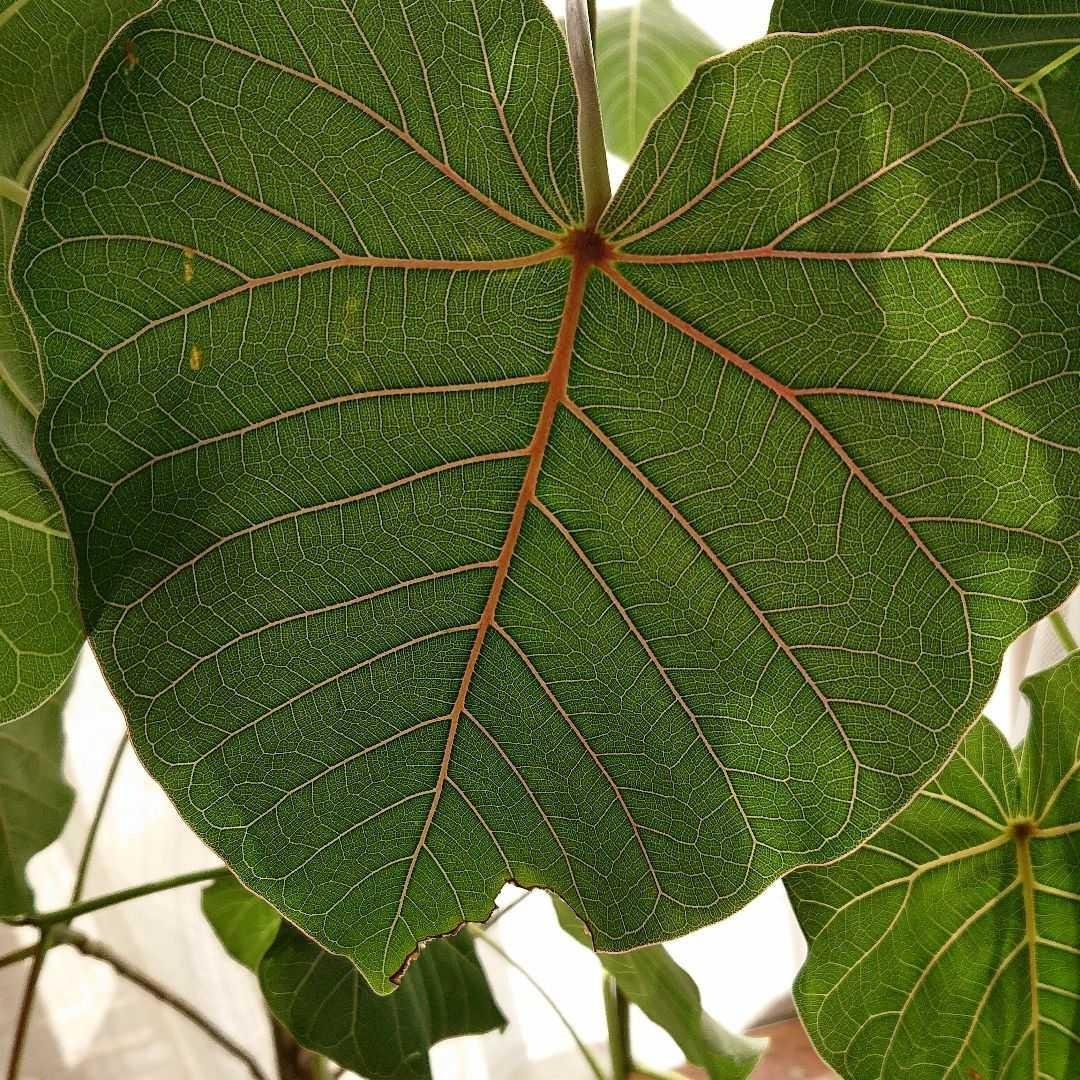 【挿し木用】フィカス ペテイオラテイス 枝葉