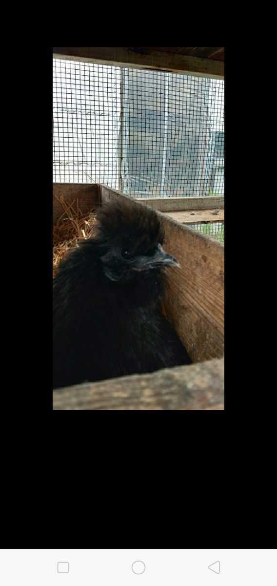 鶏卵 黒 烏骨鶏 孵化用 有精卵 種卵5こ。_画像3