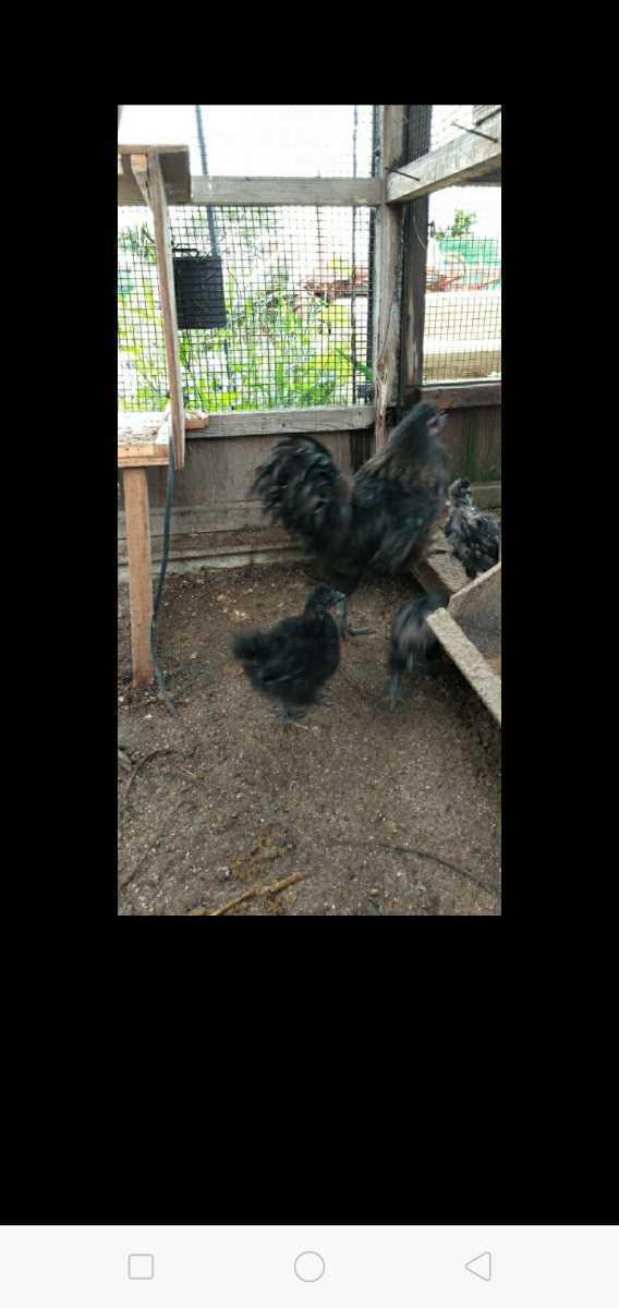 鶏卵 黒 烏骨鶏 孵化用 有精卵 種卵5こ。_画像4
