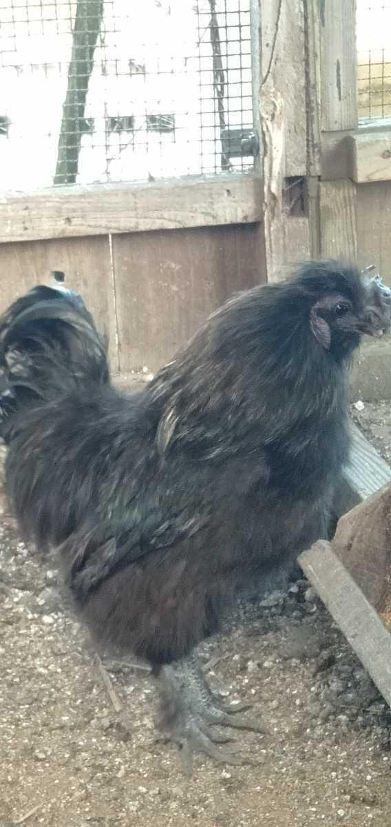 鶏卵 黒 烏骨鶏 孵化用 有精卵 種卵5こ。_画像2