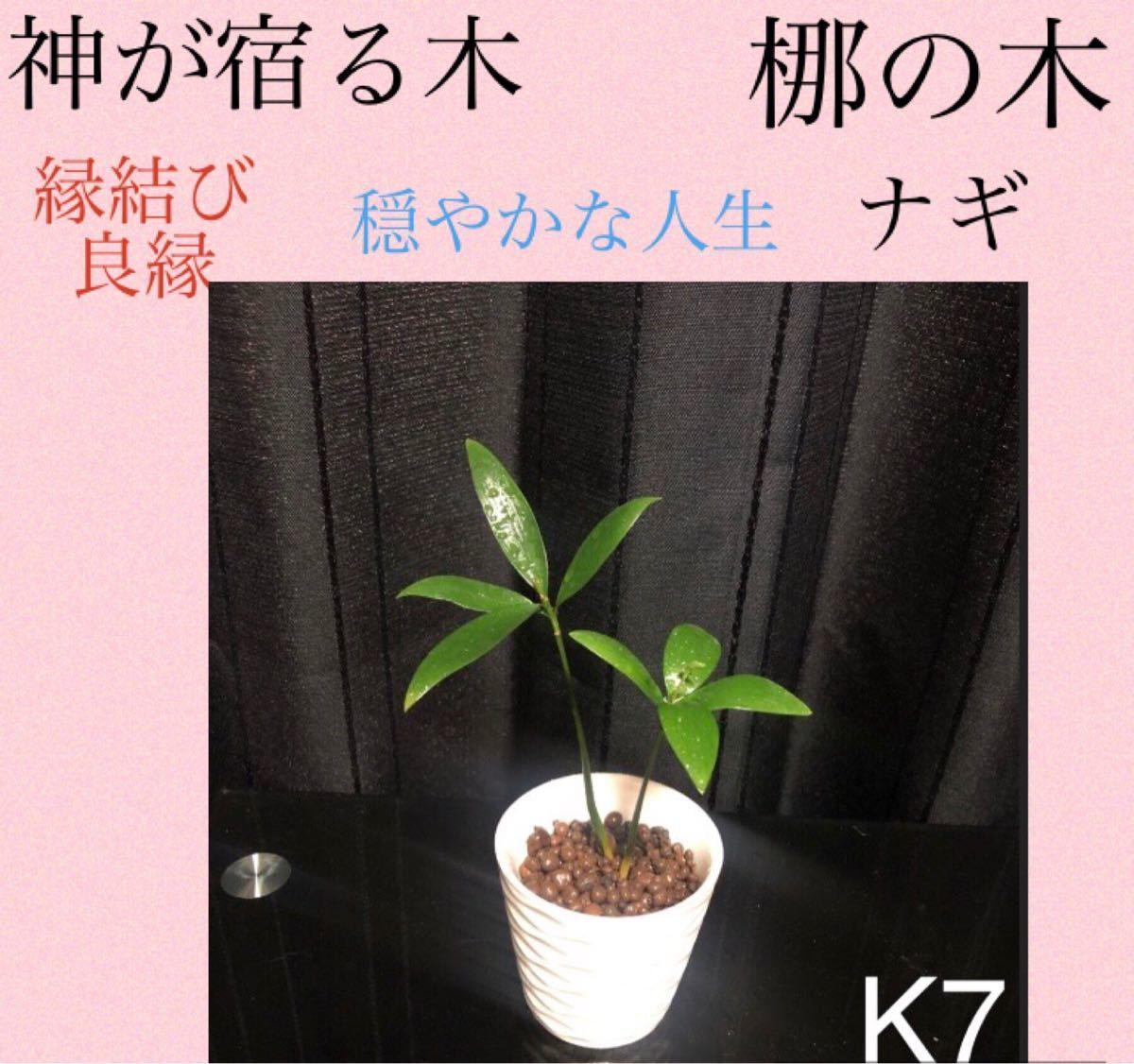 神が宿る木 ナギ 梛の木 縁結び お守りにも(^-^)抜き苗