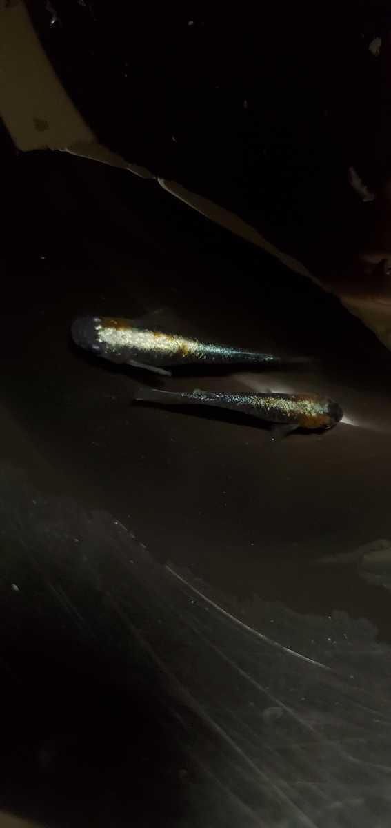 黒ラメ黄幹之体外光 めだか 有精卵 15個+α_画像5