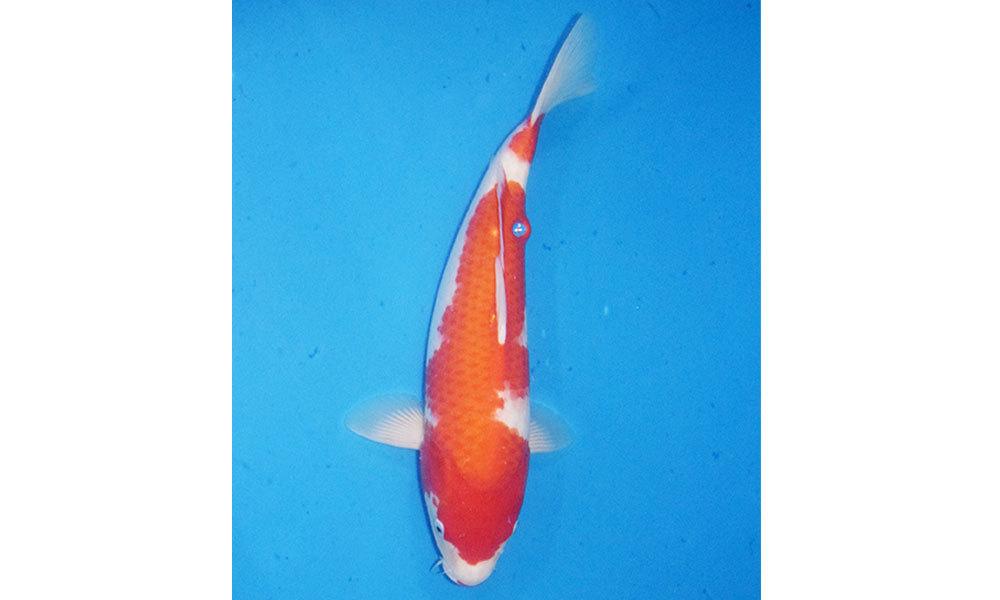 新潟雪国家養鯉場【商品No1854】 紅白 各35cm~45cm 生産者直送_画像1