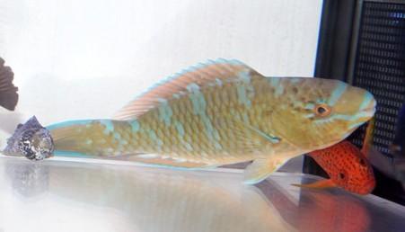 《ヒブダイ》熱帯魚 近海産 非常に元気 粒餌OK 死着保証有り