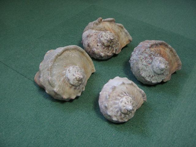 夜光貝 貝殻_画像8