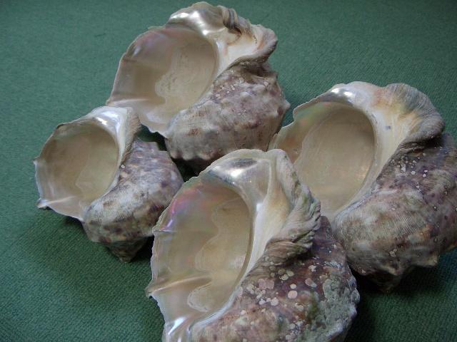 夜光貝 貝殻_画像10