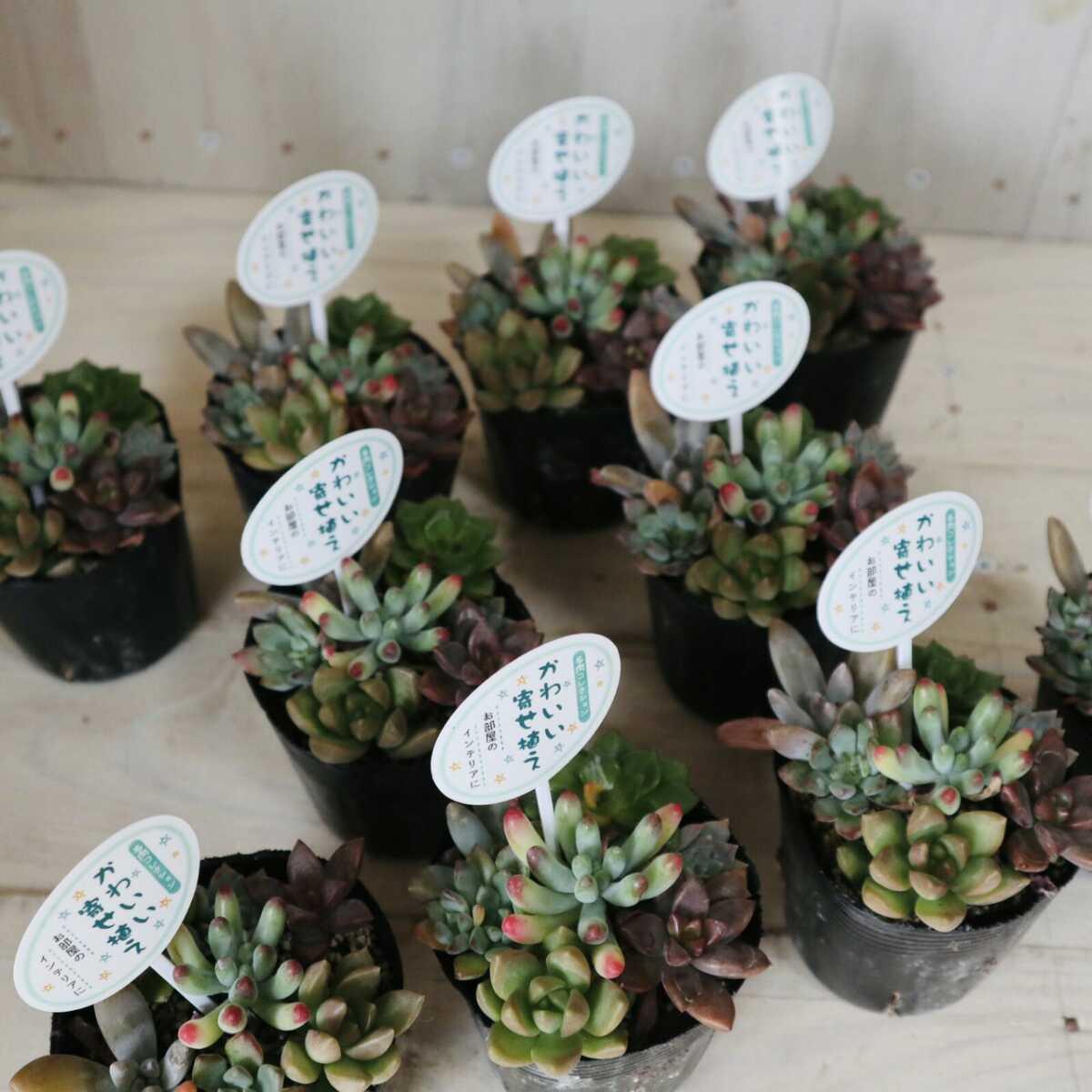 多肉植物 可愛い寄せ植え セダム 10ポットセット まとめ売り