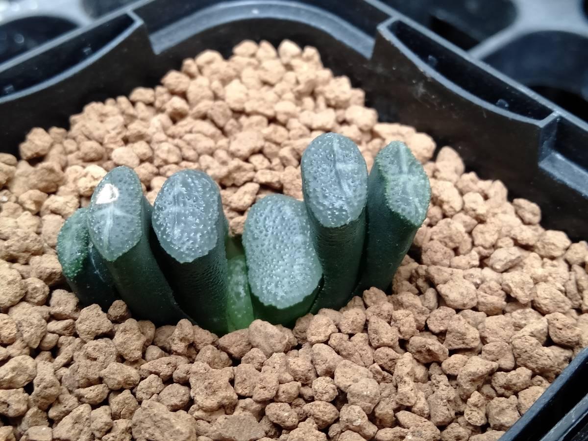 飛天 玉扇  ハオルチア 多肉植物
