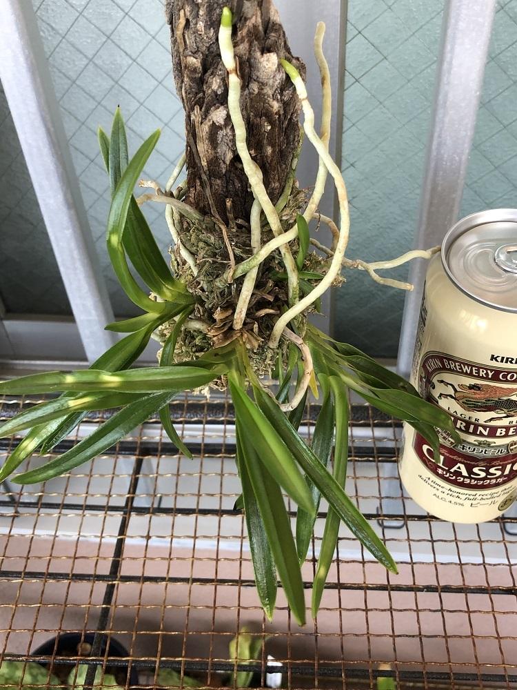 【観葉植物】着生ラン 『風蘭 -フウラン-』A  樹皮着生