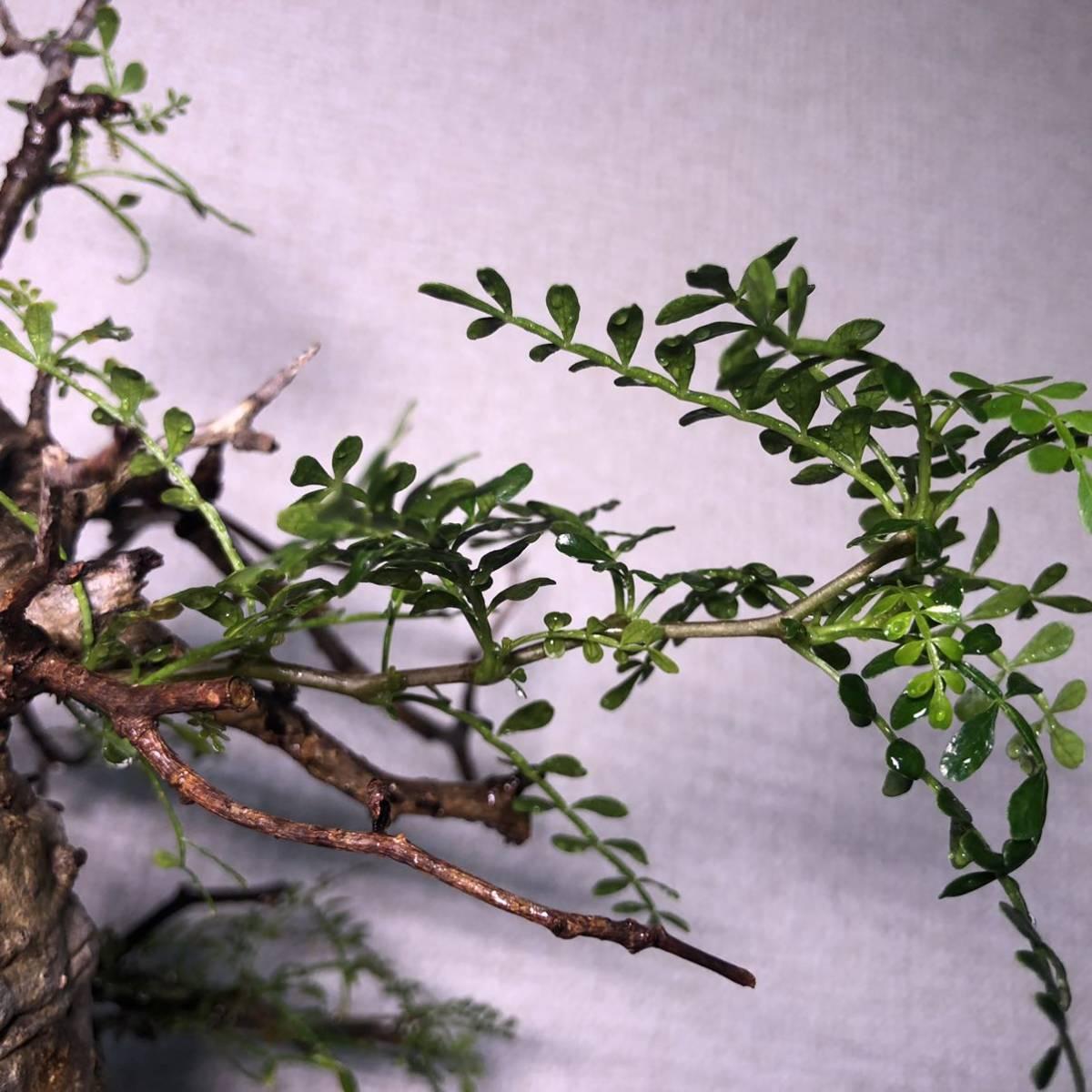 パキプス オペルクリカリア オペルクリカリアパキプス コーデックス 塊根植物 多肉植物_画像3