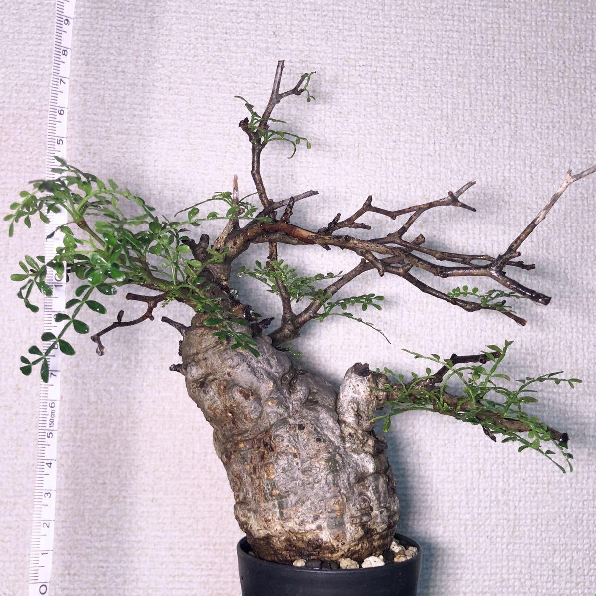 パキプス オペルクリカリア オペルクリカリアパキプス コーデックス 塊根植物 多肉植物_画像2