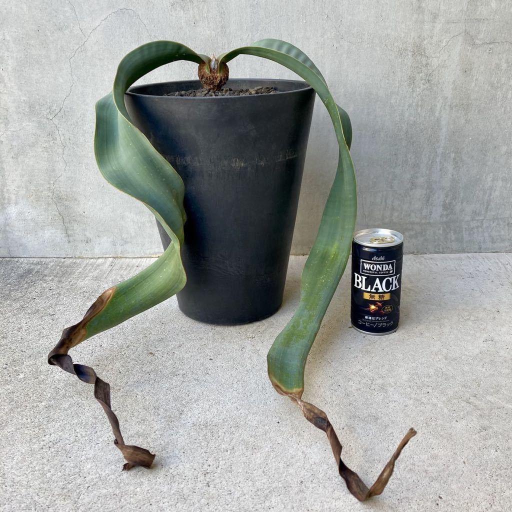 奇想天外 植物 Welwitschia mirabilis ウェルウィッチア・ミラビリス // サボテン 多肉植物 塊根植物 観葉植物 アガベ