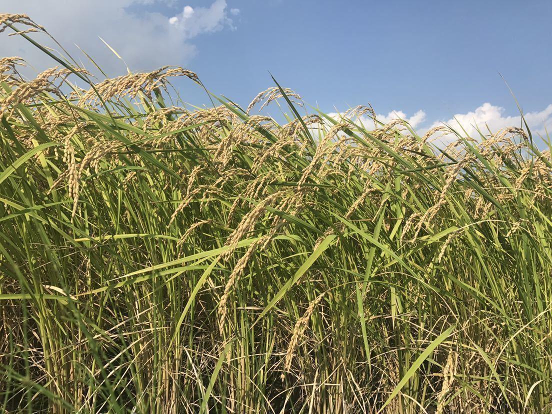 新米 令和2年 茨城県産ミルキークィーン 玄米20㎏ 白米18㎏程度 送料込み 3_画像3
