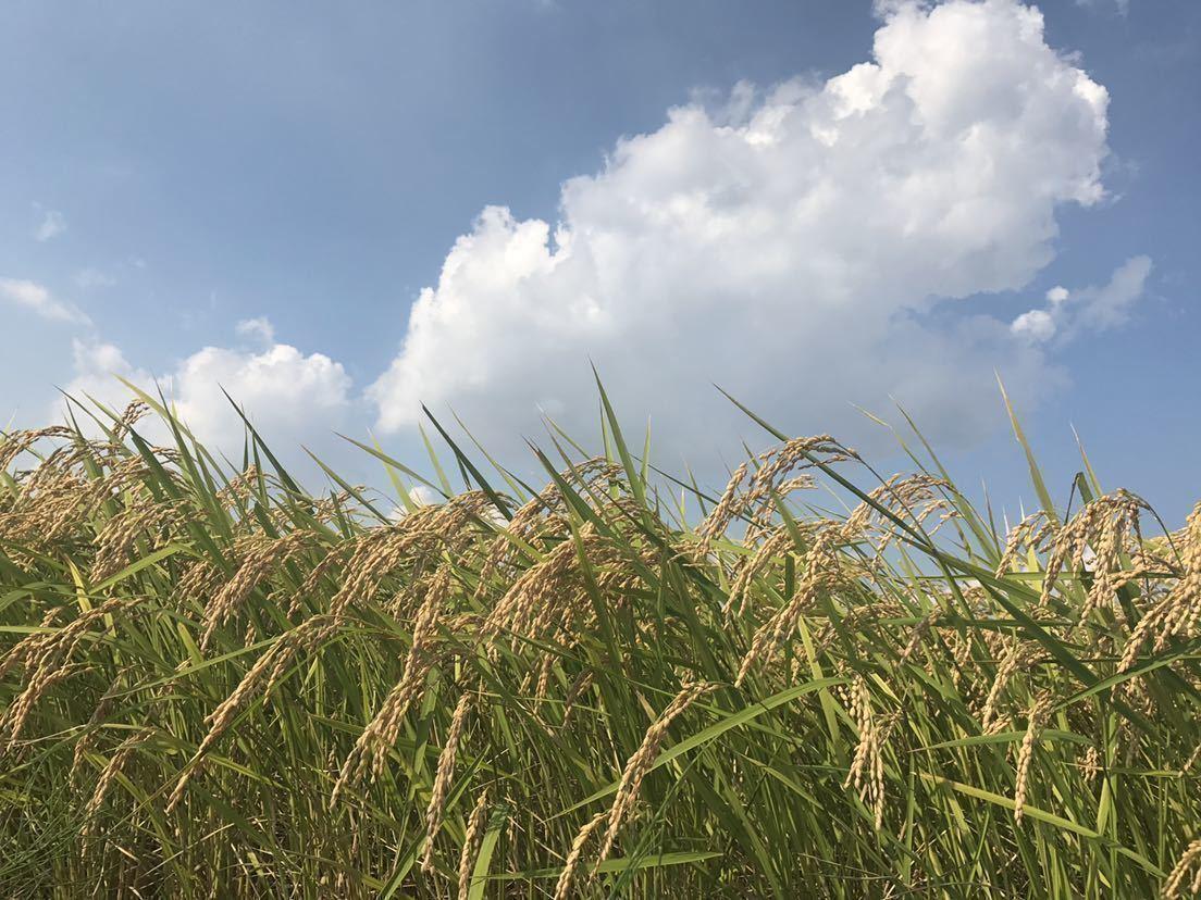 新米 令和2年 茨城県産ミルキークィーン 玄米20㎏ 白米18㎏程度 送料込み 3_画像2