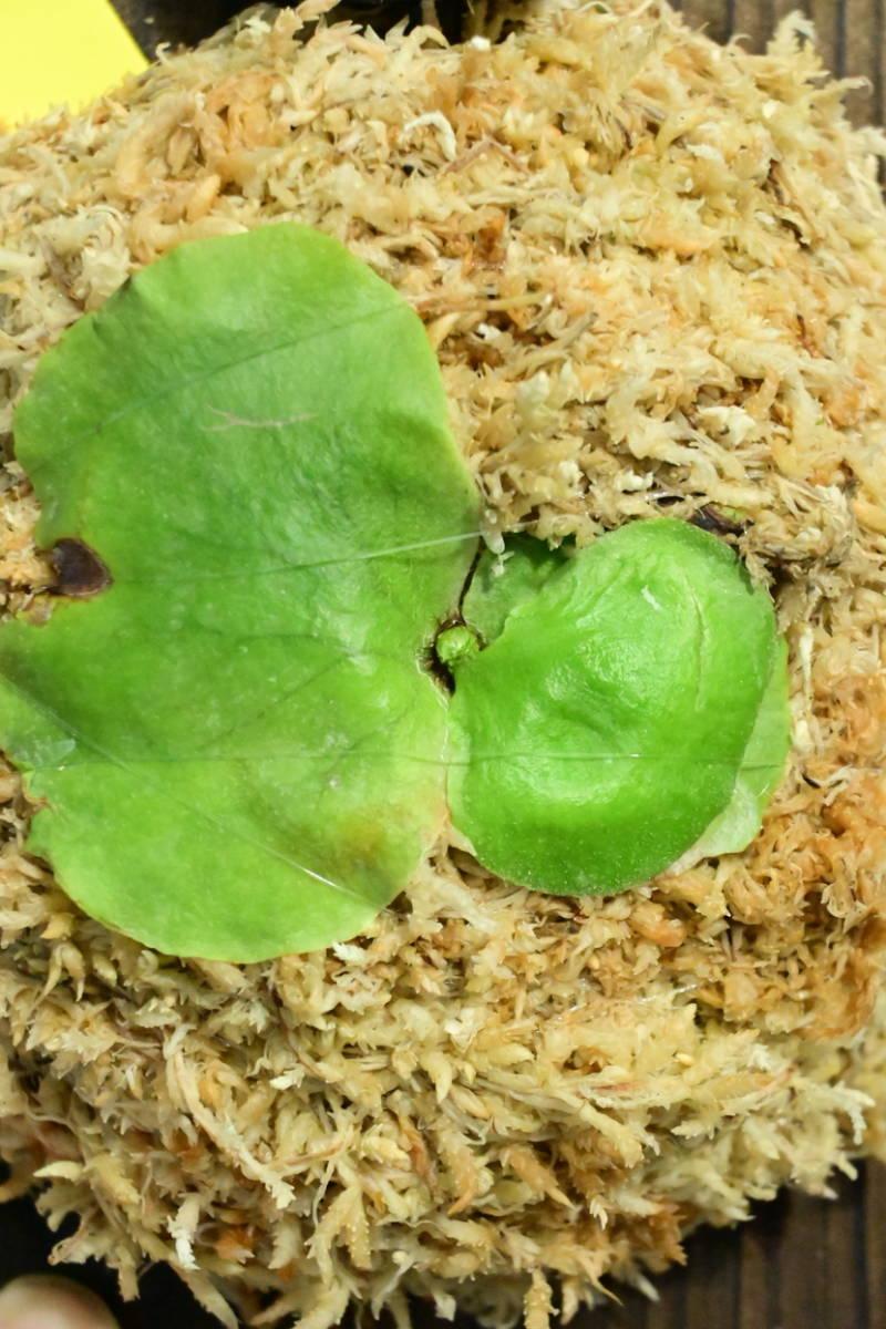 P.iyara (P.elephantotis × P.holttumii)① @bikamori.com ビカクシダ イヤラ