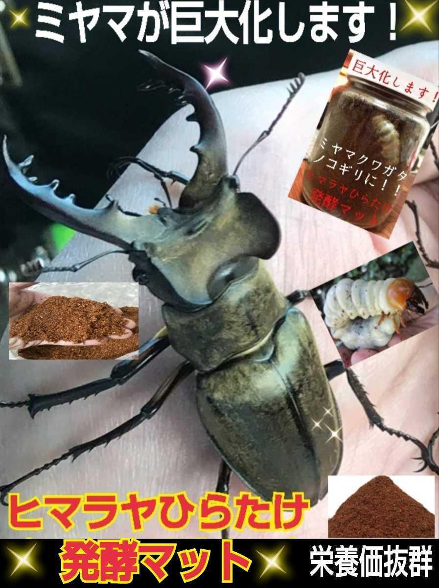 ミヤマクワガタやノコギリクワガタがビックサイズに!ヒマラヤひらたけ発酵マット!栄養価抜群!クヌギ100%原料 幼虫の餌、産卵マットに!_画像10