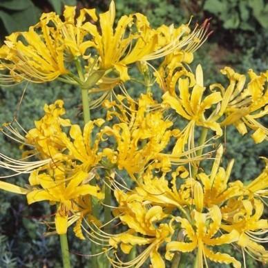 彼岸花黄色いお花の超特大!球根2個。