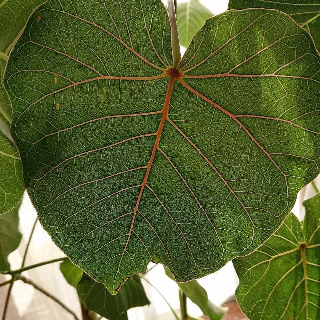 【挿し木用】フィカス・ペティオラリス 枝葉