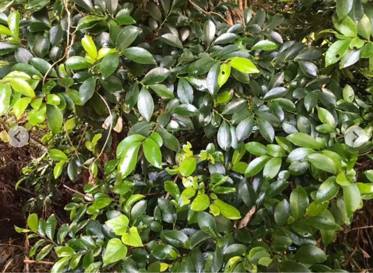 新潟産無農薬 榊2束 三つ葉苗、ミント、ツルニチニチソウ苗のどれか1苗のおまけ付