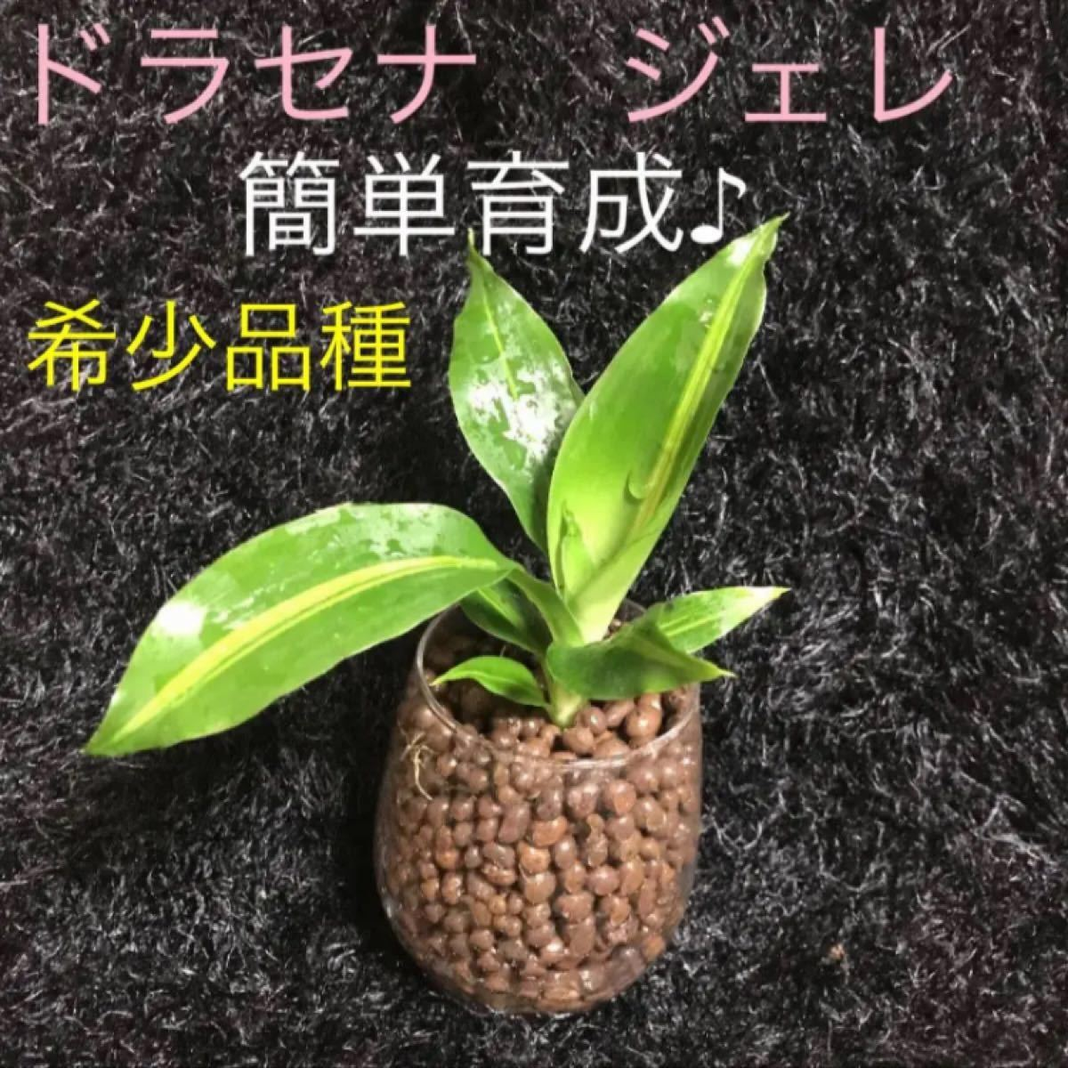 希少 『幸福の木』ドラセナジェレ 抜き苗