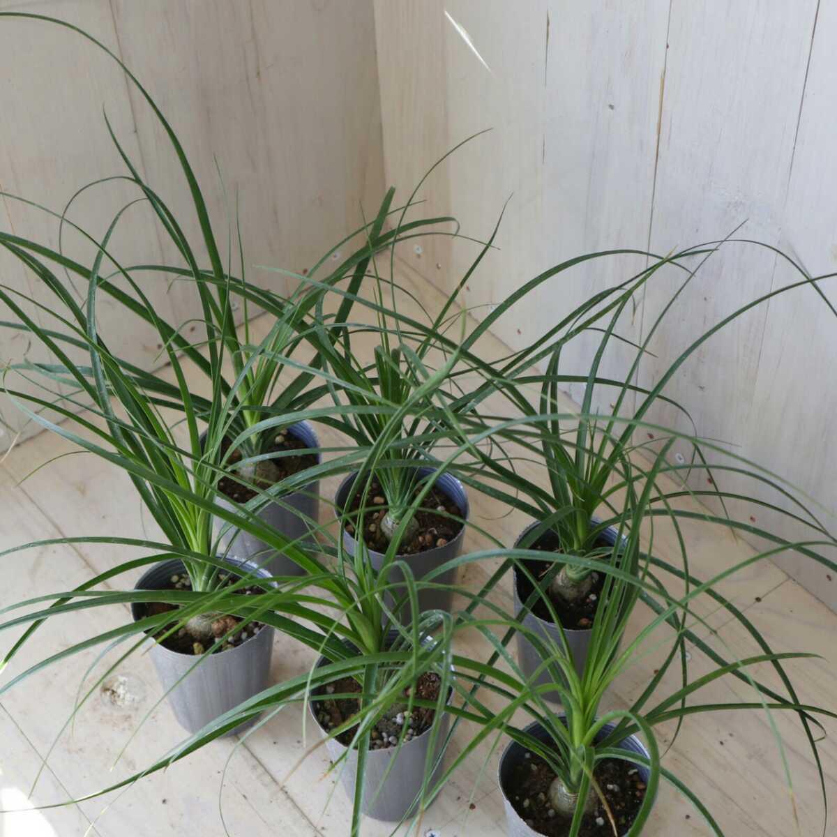 トックリラン 観葉植物 6ポット まとめ売り