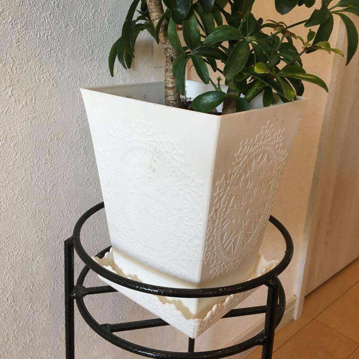観葉植物 ホンコンカポック 美形 お値打ち