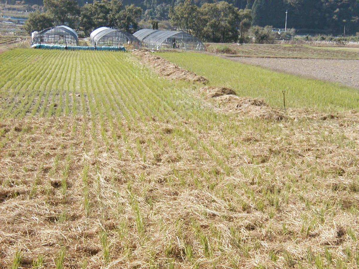 ひびき農園 無農薬無肥料 最先端の木村農法の朝日米 20㌔ 発芽玄米に最適です_肥料はワラのみの自然栽培です