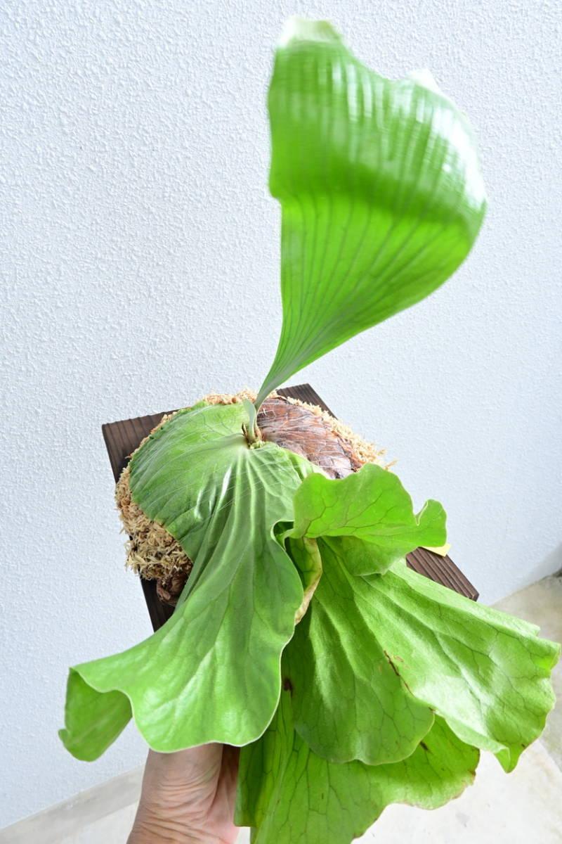 P.Neptune (stemaria x elephantotis)大株 @bikamori.com ネプチューン ビカクシダ