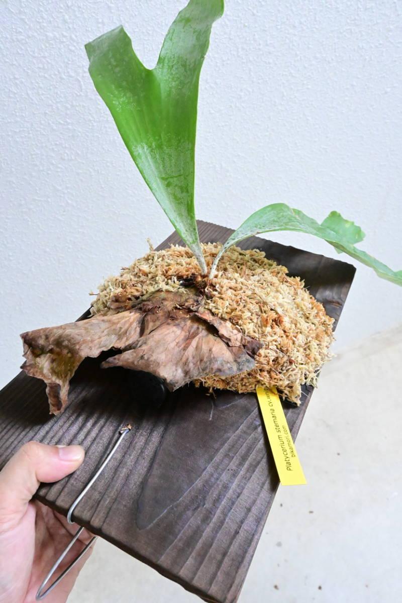 P.stemaria cv.white @bikamori.com ビカクシダ ステマリア ホワイト