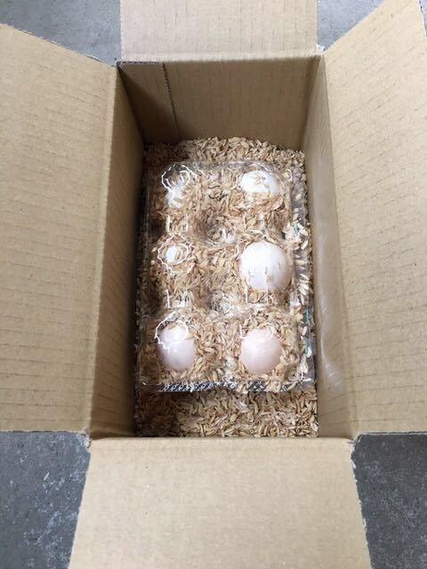 (即決)期間限定!カラー色々当日卵12個!米国モコモコシルキー(烏骨鶏)有精卵_画像5